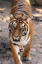 Tigre caminha até você, cara