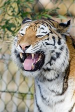 Preview iPhone wallpaper Tiger yawn, fence, zoo