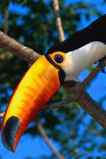 Preview iPhone wallpaper Toucan, bird, beak, tree
