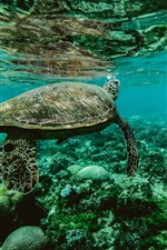 Preview iPhone wallpaper Turtle, underwater, sea animal