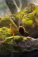 Two pheasants, couple, pond, stones, moss
