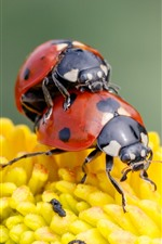 Two red ladybugs, yellow flower