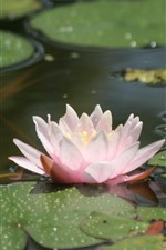 Preview iPhone wallpaper Water lily, pink petals, pond, water droplets