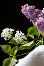 White and pink lilac flowers, black background