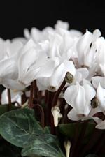 White cyclamen flowers