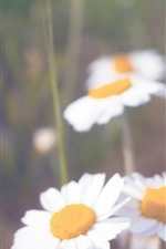Preview iPhone wallpaper White daisies, petals, hazy