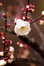 iPhone壁紙のプレビュー 白い梅、小枝、春