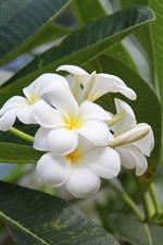 iPhone壁紙のプレビュー 白いプルメリア、花、緑の葉