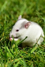 Preview iPhone wallpaper White rat, green grass