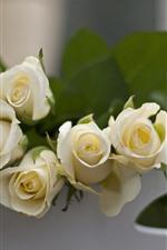 Weiße Rosen, dunstig