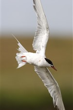 Preview iPhone wallpaper White seagull, flight, wings