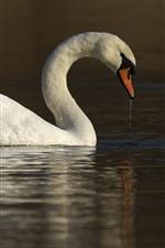 Cisne blanco, agua, lago