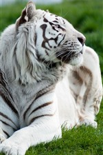 Preview iPhone wallpaper White tiger front view, rest, grass