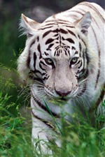 Preview iPhone wallpaper White tiger walking, grass, wildlife