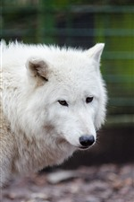 Preview iPhone wallpaper White wolf, zoo