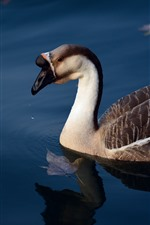 Preview iPhone wallpaper Wild goose, lake, water