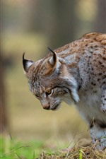 Wildcat walking, lynx