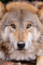 Preview iPhone wallpaper Wolf front view, face, eyes, nose