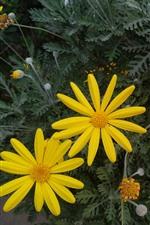 Preview iPhone wallpaper Yellow flowers, chrysanthemum