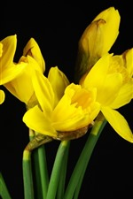 Preview iPhone wallpaper Yellow flowers, daffodils, black background