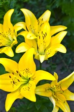 Preview iPhone wallpaper Yellow lilies