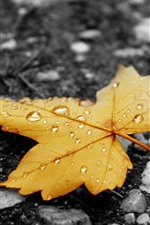 Yellow maple leaf, water droplets, ground