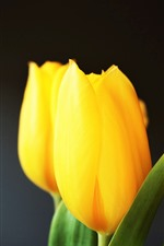 Preview iPhone wallpaper Yellow tulips, gray background
