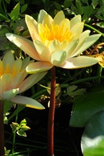 Preview iPhone wallpaper Yellow water lily bloom, petals, pond