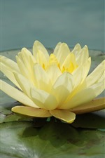 Preview iPhone wallpaper Yellow water lily close-up, petals, leaves, pond