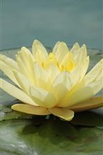 Lirio de agua amarillo de cerca, pétalos, hojas, estanque