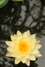 Preview iPhone wallpaper Yellow water lily, petals, pond, leaves
