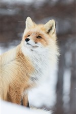 Preview iPhone wallpaper Animal in winter, fox, snow