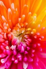 Beautiful chrysanthemum petals, rainbow colors