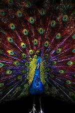 Preview iPhone wallpaper Beautiful peacock, tail, feathers, black background