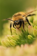 Preview iPhone wallpaper Bee and flower, macro photography, hazy background