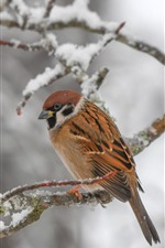 Preview iPhone wallpaper Bird, sparrow, twigs, snow, winter