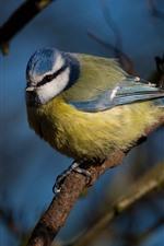 Bird, titmouse, tree