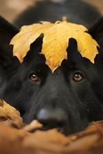 Black dog, face, yellow maple leaf