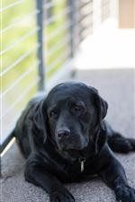 Black dog, rest, fence