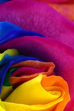 Colorful petals rose, flower close-up