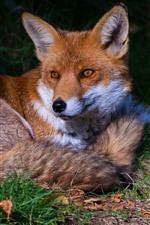 Cute fox rest, grass