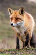 미리보기 iPhone 배경 화면 귀여운 여우 산책, 야생 동물