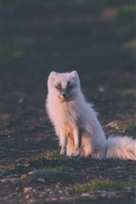 Cute white arctic fox, sit on ground