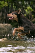 Preview iPhone wallpaper Dog running in creek water