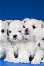 Preview iPhone wallpaper Five white puppies, blue background