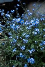 Forget-me-not, blue little flowers