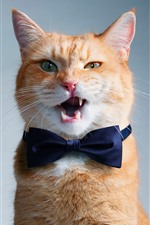 Funny cat, bowtie