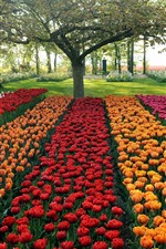 Garden, colorful tulips, trees