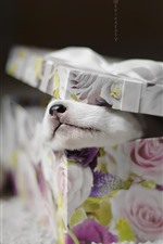 Preview iPhone wallpaper Gift, box, puppy