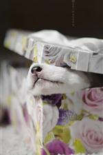 Gift, box, puppy